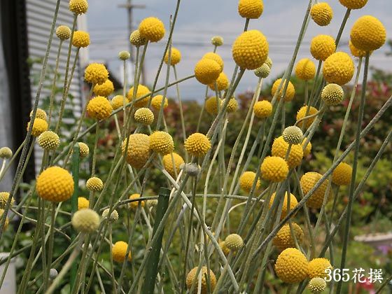 Drumsticks Billy Buttons Craspedia Flower Farm