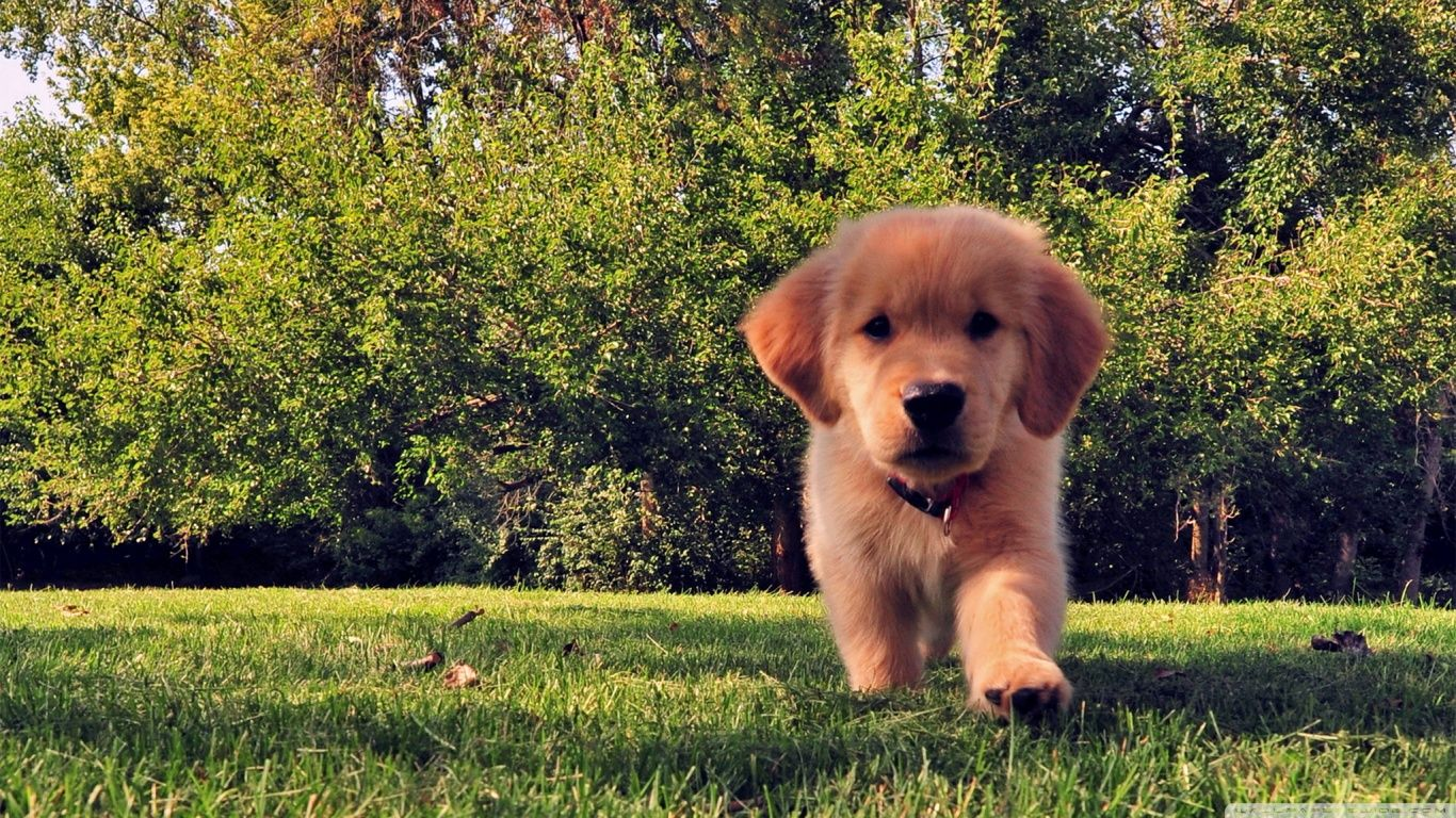 Http Ift Tt 2tgvcu9 Beautiful Puppy Of Golden Retriever Wallpaper Hd