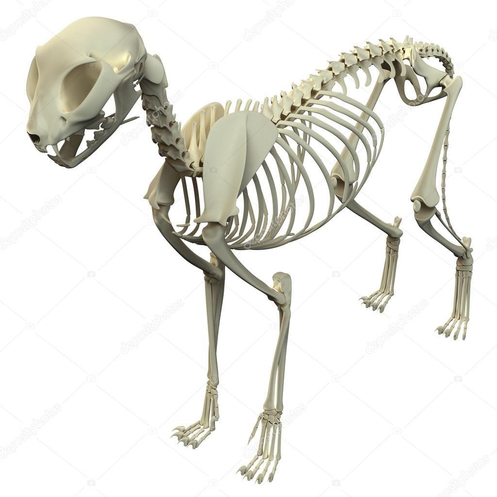 ダウンロード 猫の骨格解剖学 猫の骨格の解剖学 ストック画像 動物解剖学 猫 骨格 猫