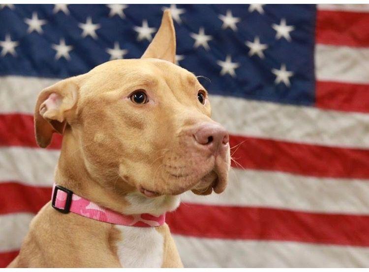 Nyc Finest Ashley Fdny Probyash Fort Pitt Pitbulls Pitbull Rescue Animal Rescue Stories