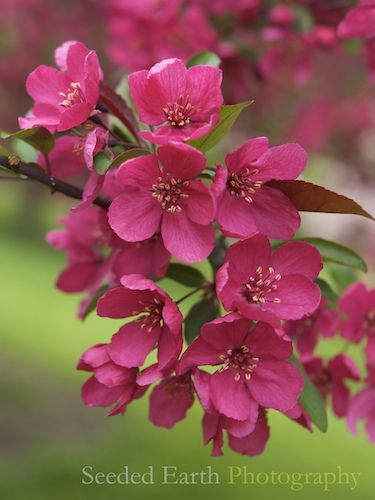 Prairifire Crabapple Blossom Flowering Trees Pretty Flowers Flowers Nature
