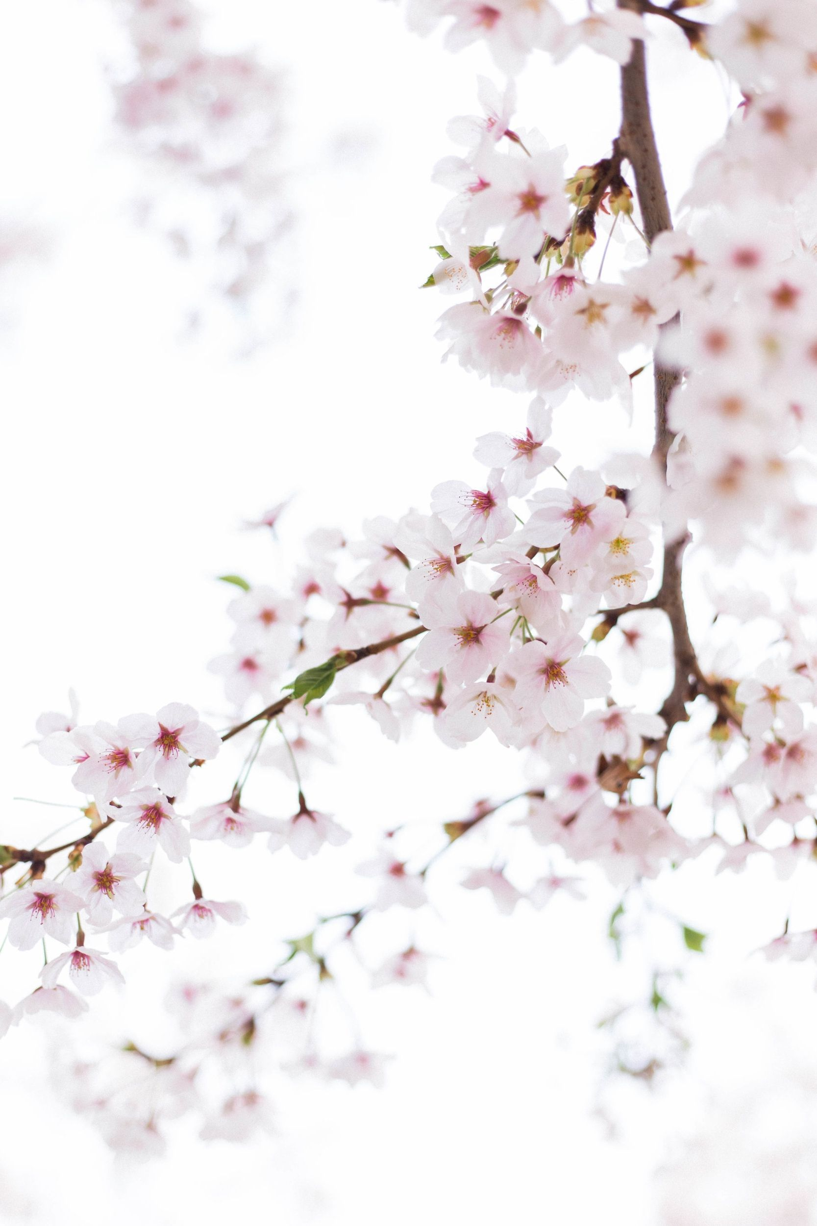 Where To See Cherry Blossoms In South Korea Blossom Cherry Blossom Wallpaper Cherry Blossom
