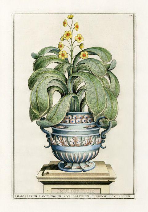 Abraham Munting Botanical Prints 1696 Papir