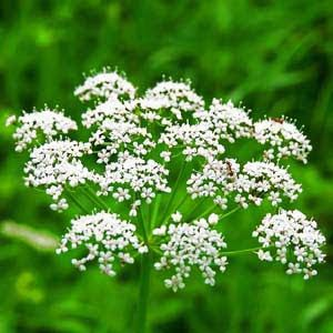 Anise pic and description.