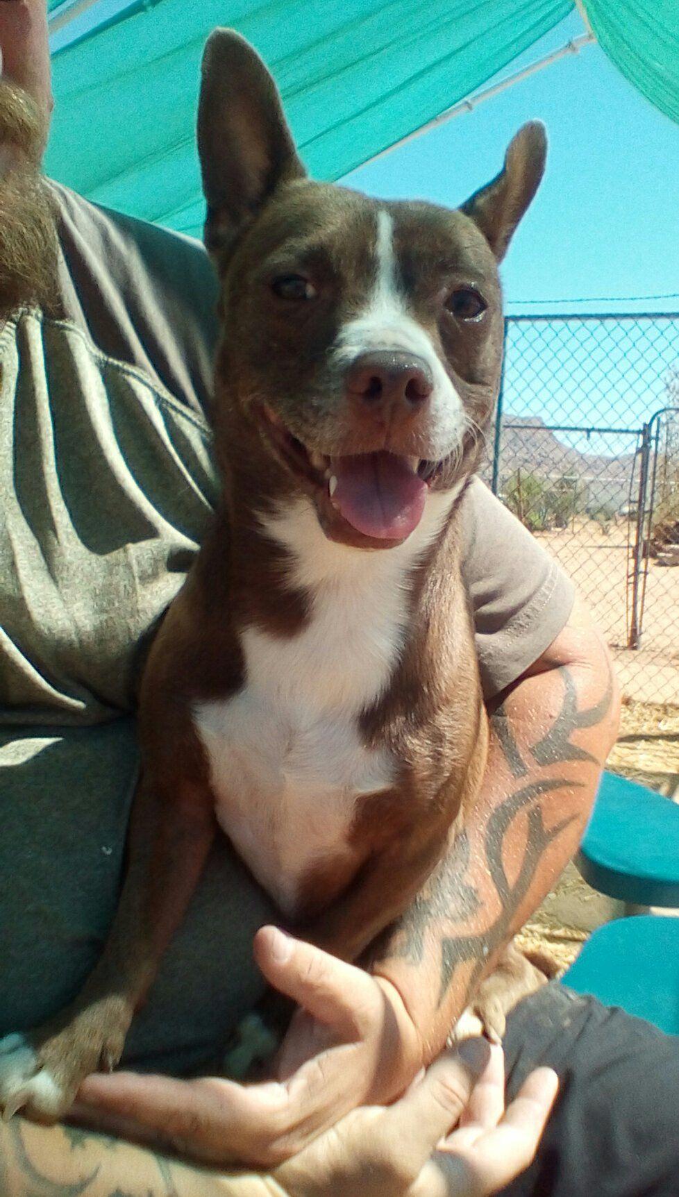 French Bulldog dog for Adoption in Apple Valley, CA. ADN