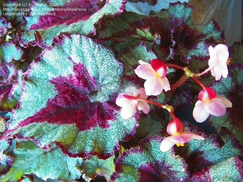 Rex Begonia Capricorn Grows Large And Bold With Nice Spiral Leaf Curl Silvery Green Leaves Centered And Edged In Deep Burgundy With Images Begonia