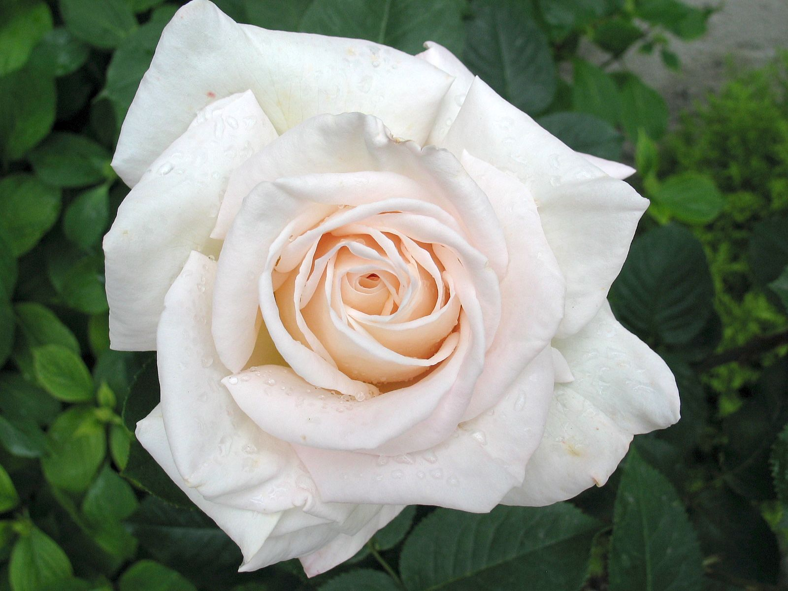 White rose these are a must one of my favorites growing an