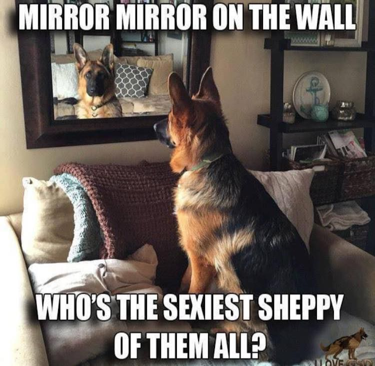 Pin By Evan Blaschick On Pets Pinterest German Shepherd Dogs