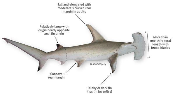hammerhead shark anatomy | Costume Inspirations | Pinterest ...