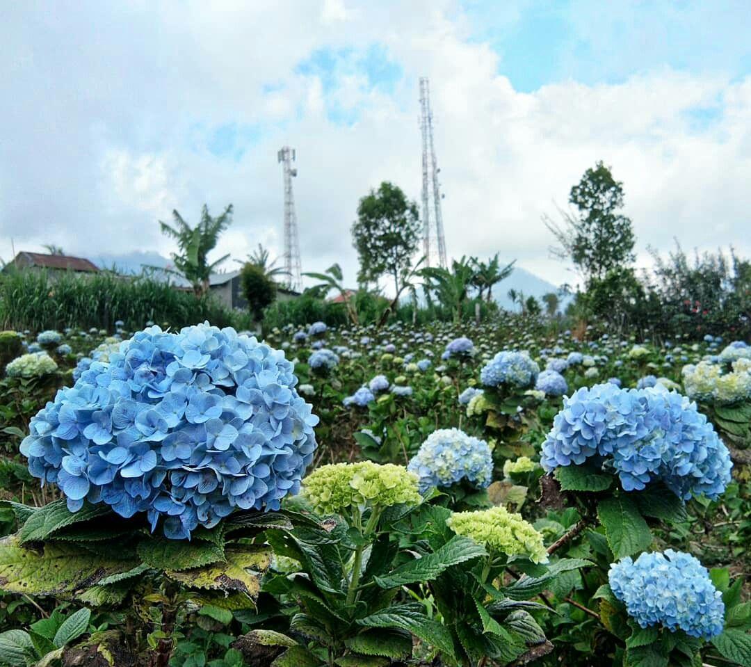 Blue Hydrangea Garden In Munduk Village North Bali Hydrangea Garden Blue Hydrangea Hydrangea