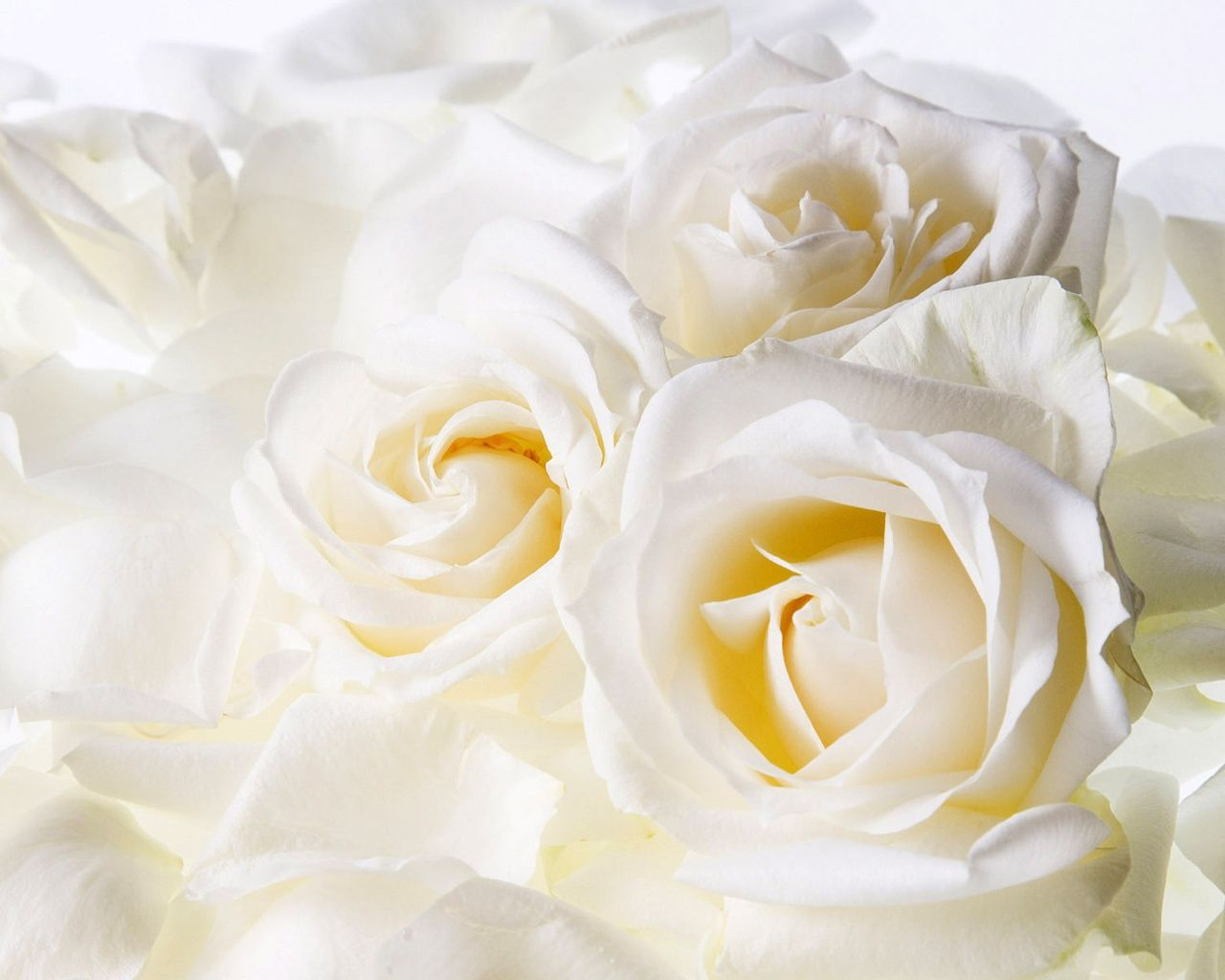 Image Detail For Description Free Download White Roses Wallpaper