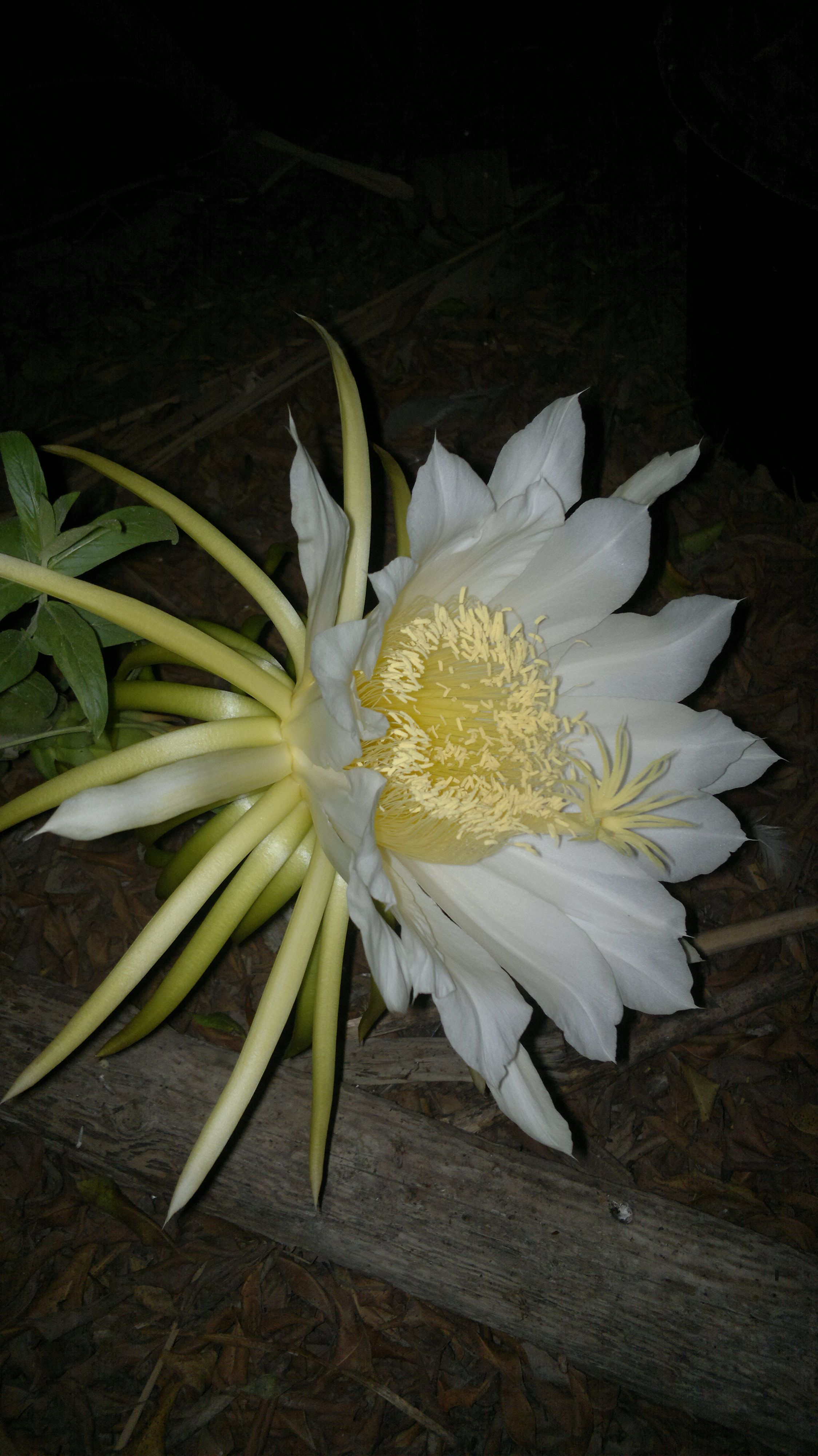 Large Of Dragon Fruit Flower