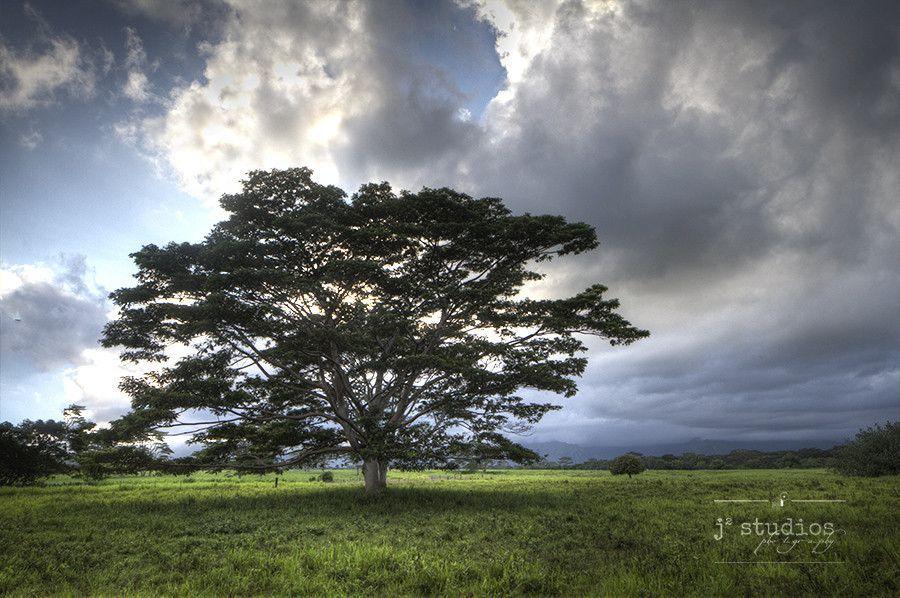 Tree of Life is an art print of a Acacia Koa tree sitting in the fields of the Hawaiian Island of Kauai. Hawaii landscape photography.
