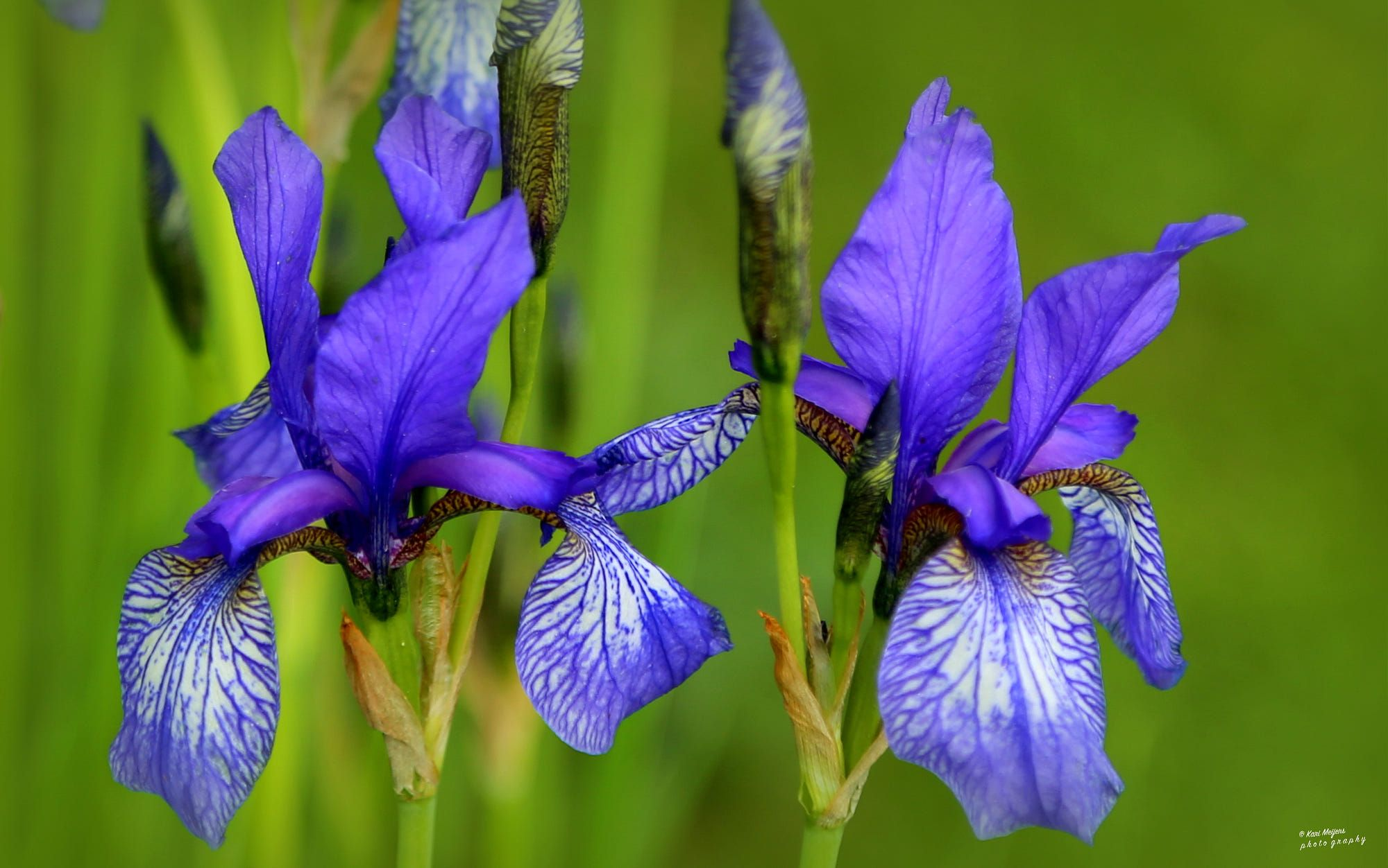 The Word Iris Means Rainbow Iris Is The Flower Of The Greek Goddess