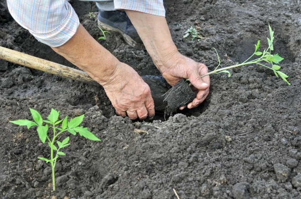 How to plant grow and harvest tomatoes in 2020 tomato