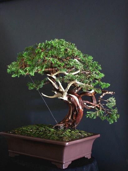 Artist Dorothy Schmitz San Jose Juniper Juniperus Chinensis