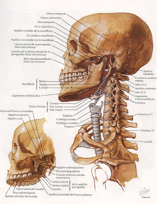 La cabeza y el cráneo humano | clase escultura | Pinterest | Huesos ...