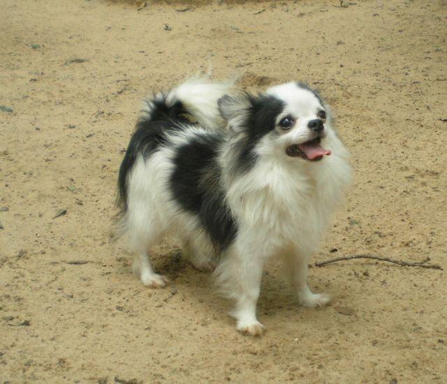 Long Hair Chiwawa Puppies Chihuahua Puppies For Sale Chiwawa