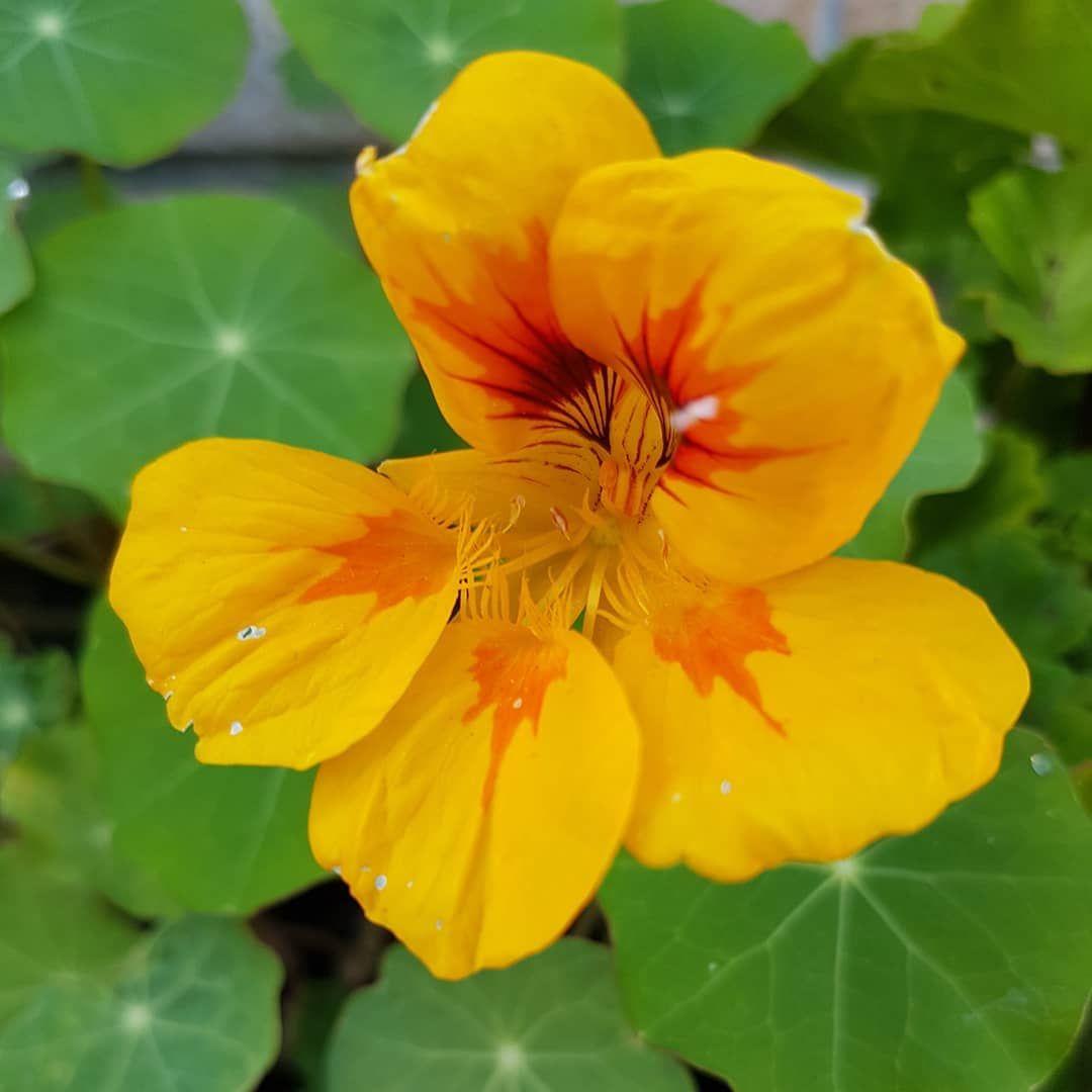 Lecker Und Nutzlich Kapuzinerkresse Besticht Nicht Nur Durch Ihre Farbvielfalt Ihre Bodenverbessernden Eigenschaften Und Die Essbaren Bluten Machen Sie Plants