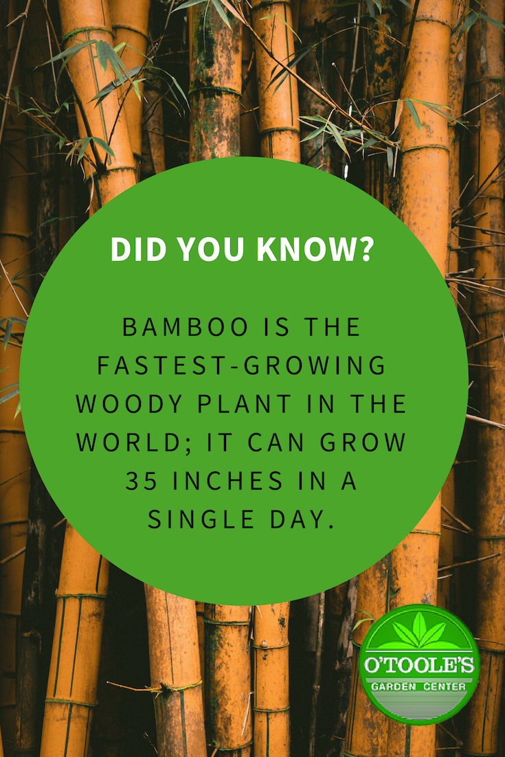 Did You Know That Bamboo Is The Fastest Growing Woody Plant In The World Otoolesgardencenters Bamboo Garden Gardening Supplies Gardening Tips Garden Center