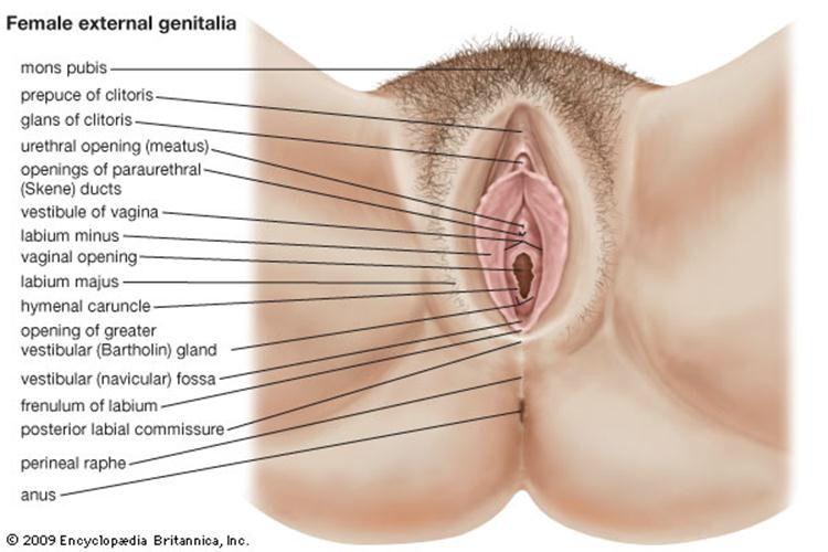 Famoso Anatomía Abertura Vaginal Fotos - Anatomía de Las Imágenesdel ...