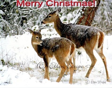 Christmas Card Cards deer wildlife merry by songmountainfineart ...