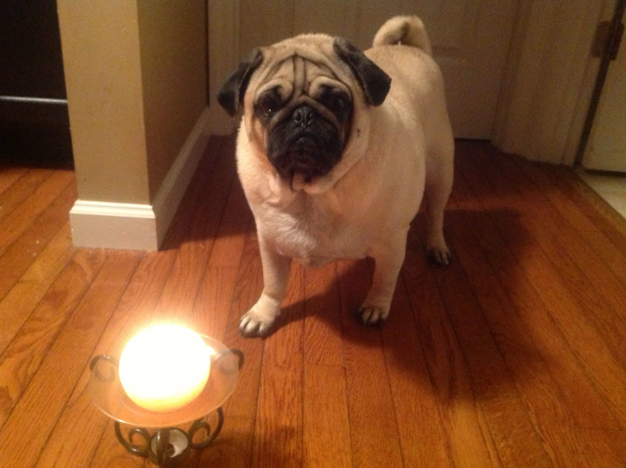 A candle is lit for zola in mo rip sweet pea pug hugs and love