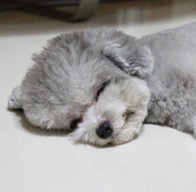 Silver Toy Poodle #miniaturepoodle