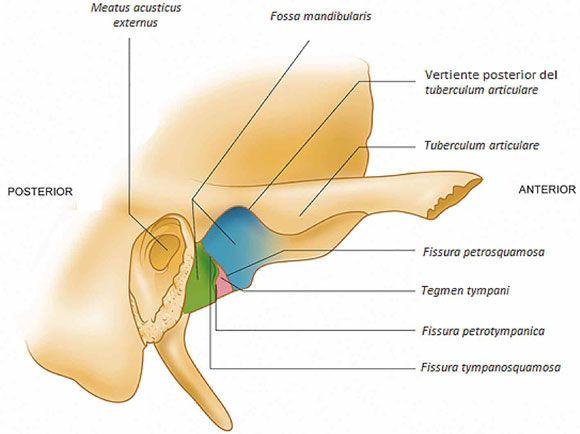 Resultado de imagen para FOSA MANDIBULAR | Anatomy | Pinterest