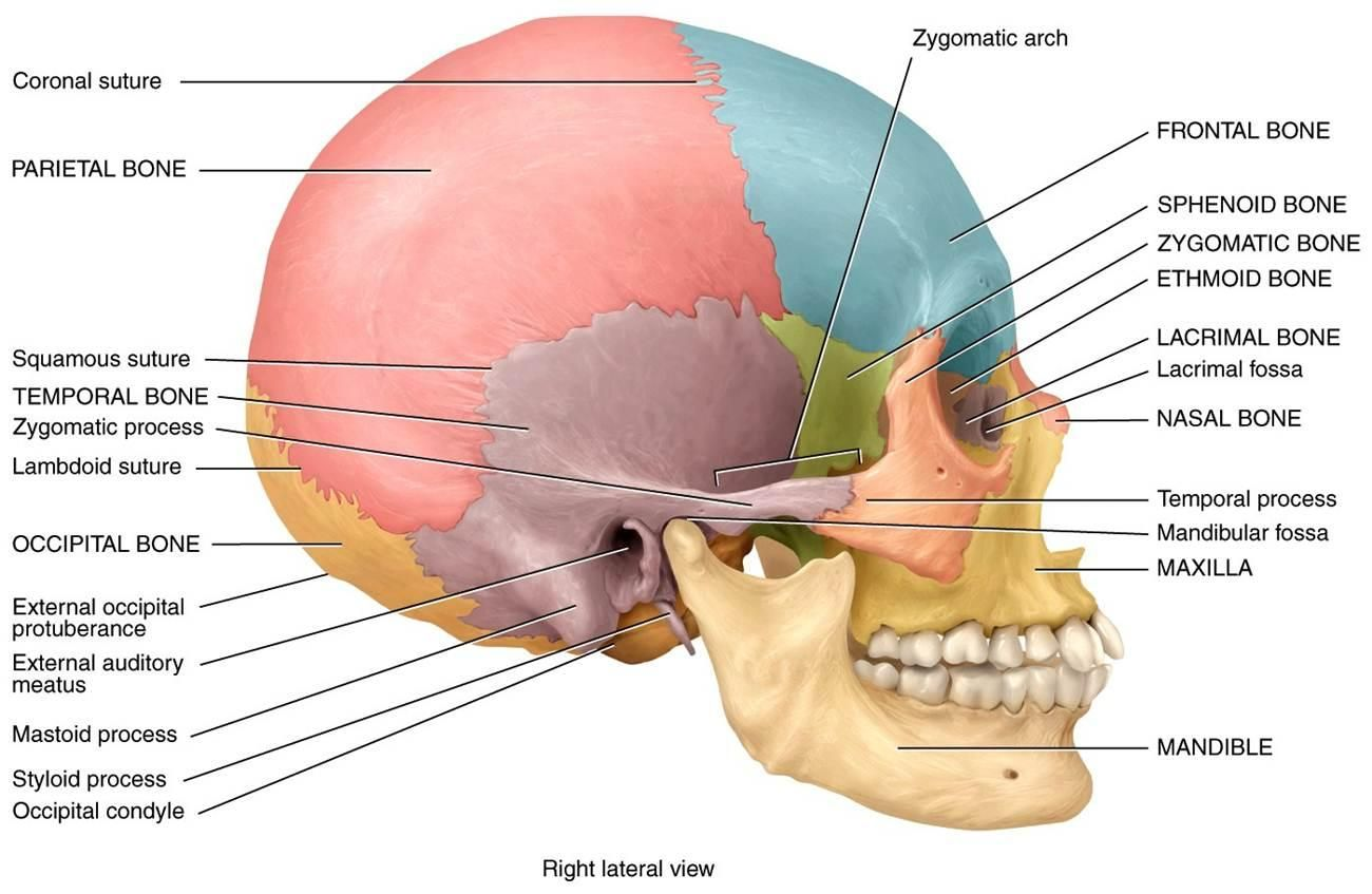 Skull Study Diagram - Online Schematic Diagram •