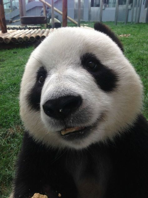 So in Love with Pandas! ♥ #babypandabears
