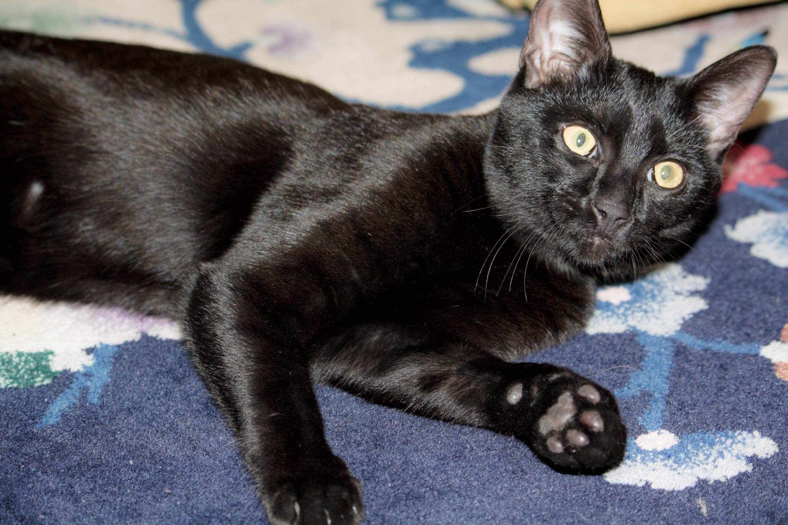 Kittens Belle Hollow Farms And Exotics Savannah Kitten Egyptian Mau Cats