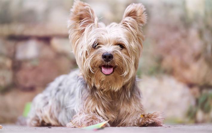 Telecharger Fonds D Ecran Le Yorkshire Terrier Des Animaux