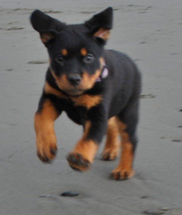 The Full Throttle Come My Cute Rotti Puppy Yara Bear