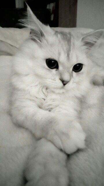 My beautiful little lion. #cat #chinchillasilver #persian