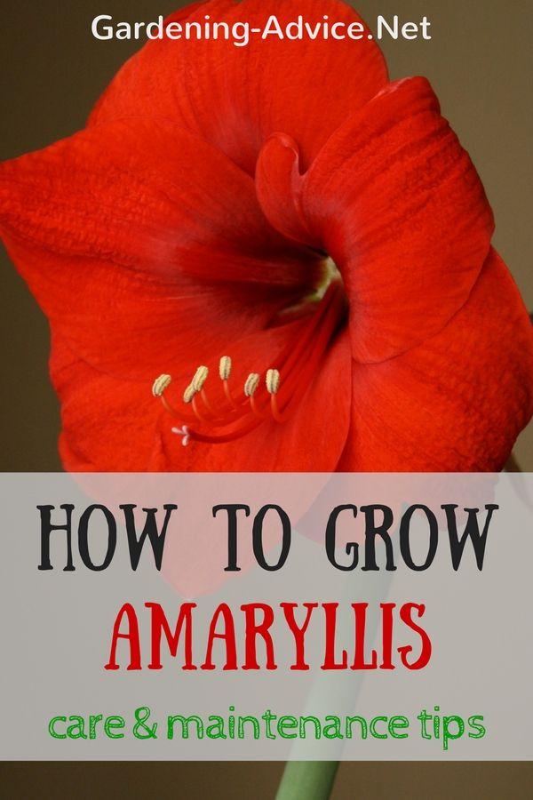 Poinsettia Care Tips For Growing Poinsettias Amaryllis