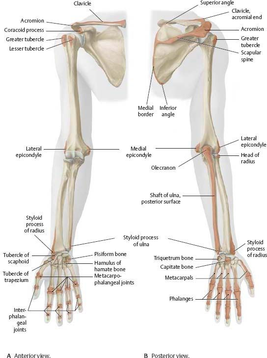 Shoulder arm anatomy