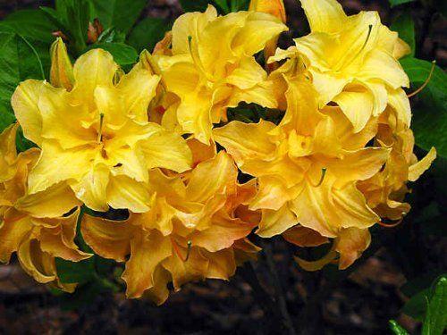 New Giant Yellow Azalea Rhododendron 6 To 10 Ft Sweet Fragrant Showy 1232 By Robsrareandgiantseeds Http Www Amazon Co Azaleas Plants Fragrant Flowers