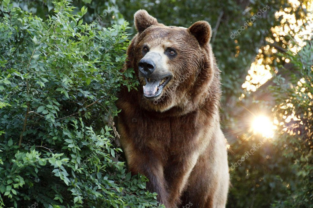 Large Grizzly Bear with setting Sun and Heavy Foilage on