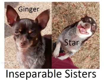 02 16 14 Star Ginger Bonded Pair Chihuahua Adult Female