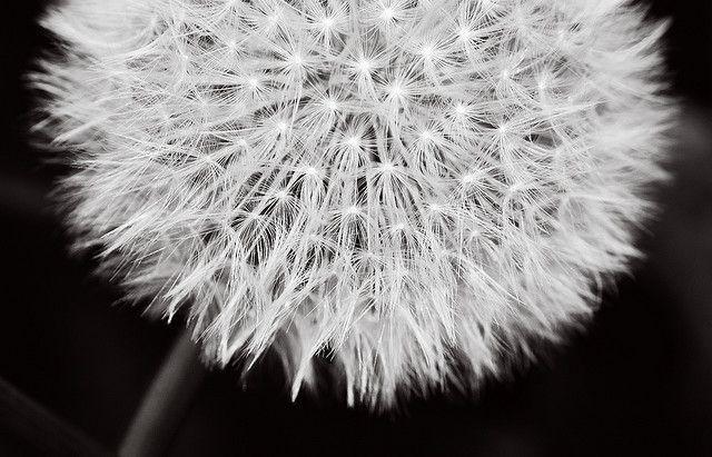 Dandelion Art Dandelion Art Cover Pics For Facebook Art