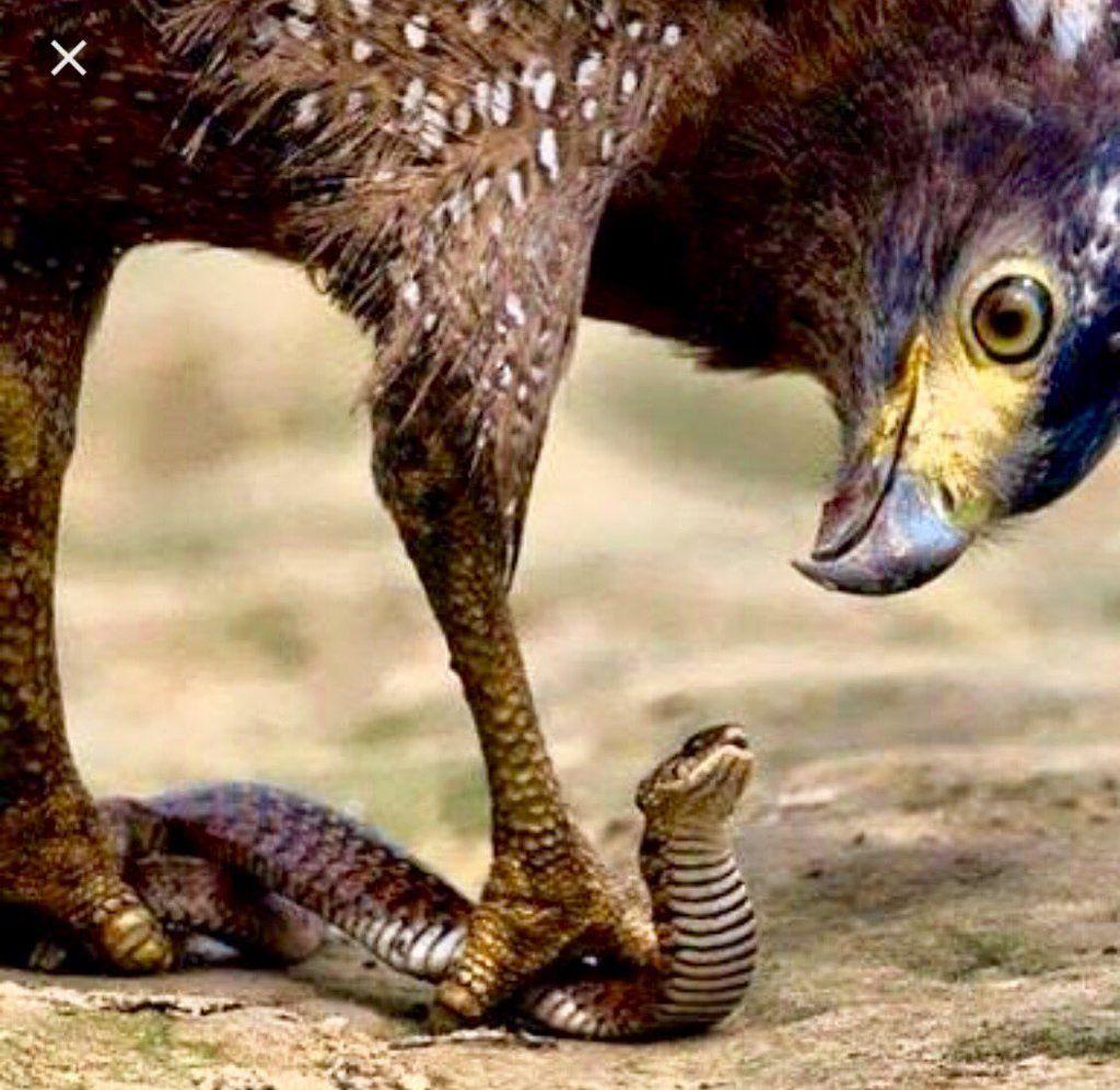 """Ap. Ari C Nascimento on Twitter: """"A águia está estraçalhando o governo da jararaca. @aricaetano @jejumde40dias @ComuViladaPenha https://t.co/IlbRez01dQ"""""""