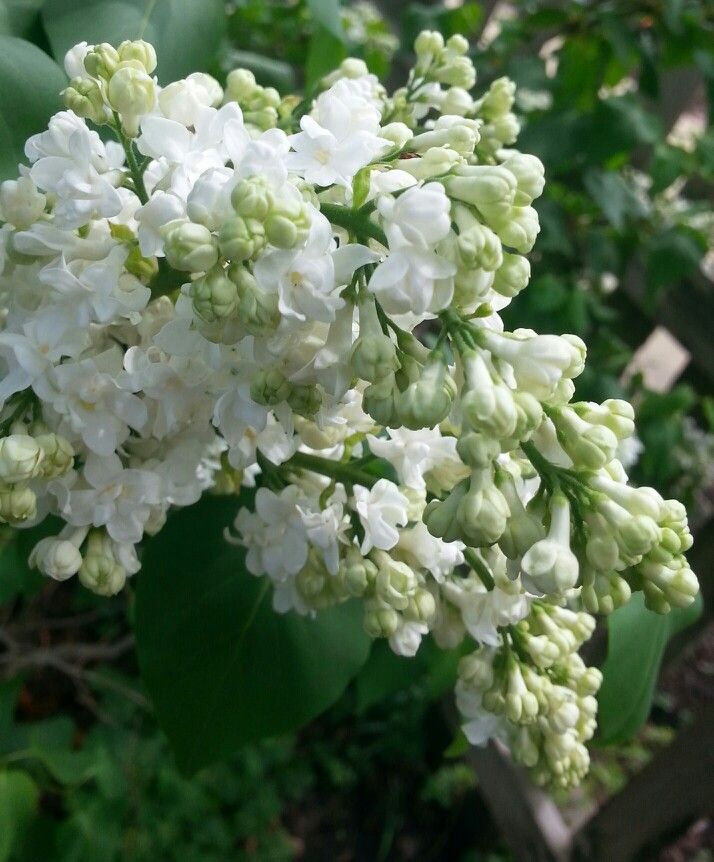 Loving the sweet romantic scent of lilacs in the garden. Something so nostalgic about these blooms.