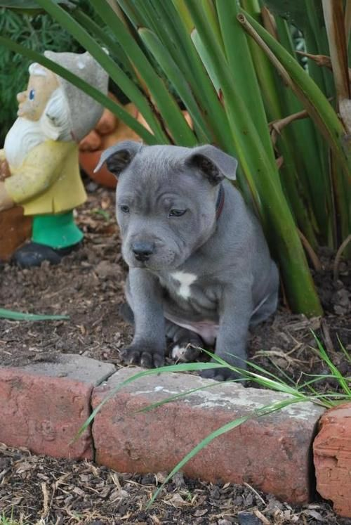 Gorgeous Blue Staffy X Pit Puppies Pitbull Puppies Puppies