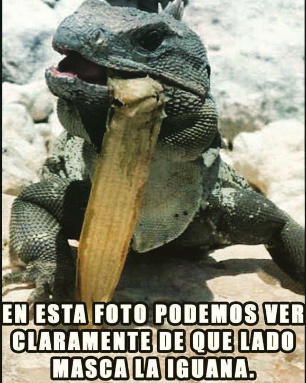 De Que Lado Masca La Iguana Iguanas Meme Divertido Humor En Espanol