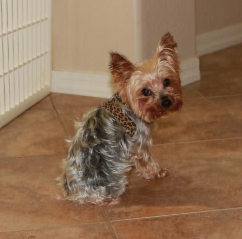 Emma Yorkshire Terrier Available For Adoption In Arizona Hi My Name Is Emma And I Am A Tiny York Yorkshire Terrier Yorkie Australian Cattle Dog Blue Heeler