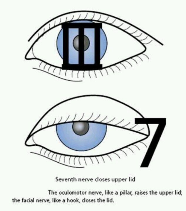 NervioTercero movimientos oculares y pupila,septimo parpados ...