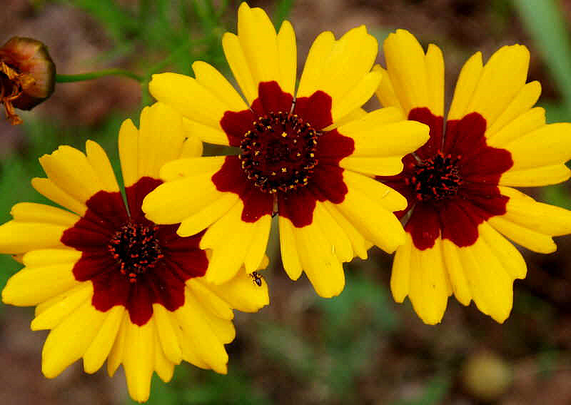 Coreopsis tall beautiful sway in the wind yellow and burgundy coreopsis tall beautiful sway in the wind yellow and burgundy center flower available at moflowerseeds 100 to a pack mightylinksfo