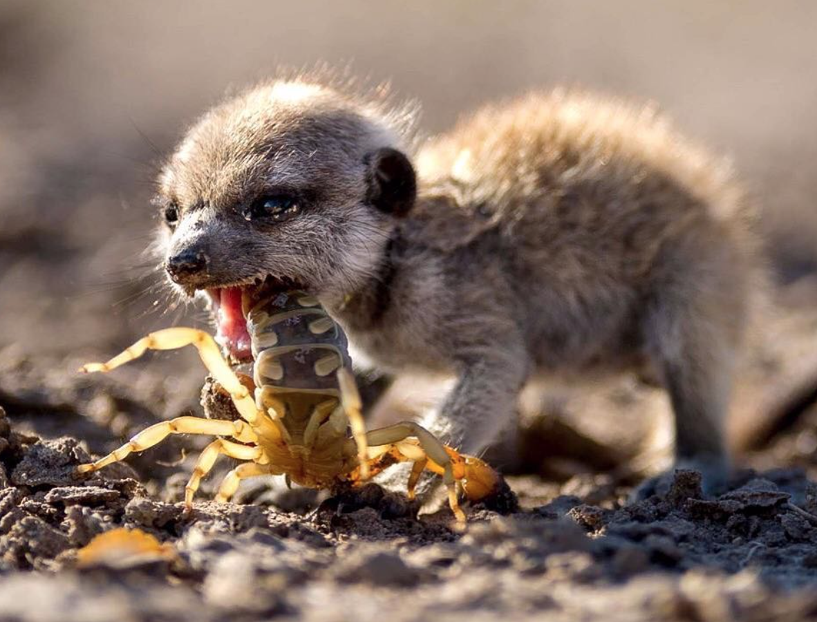 Meerkat chomping down on a Scorpionhttps//i.redd.it