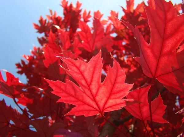 Autumn Leaves Fall Art Bright Red Leaves Baslee Troutman By Patti Baslee Autumn Leaves Art Autumn Art Autumn Trees